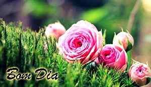 linda rosa com fotos de bom dia