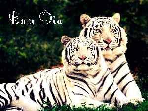 tigre casal bom dia papel de parede