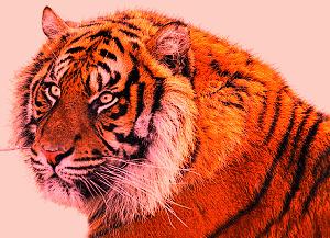 descarga gratuita de imágenes de tigre real